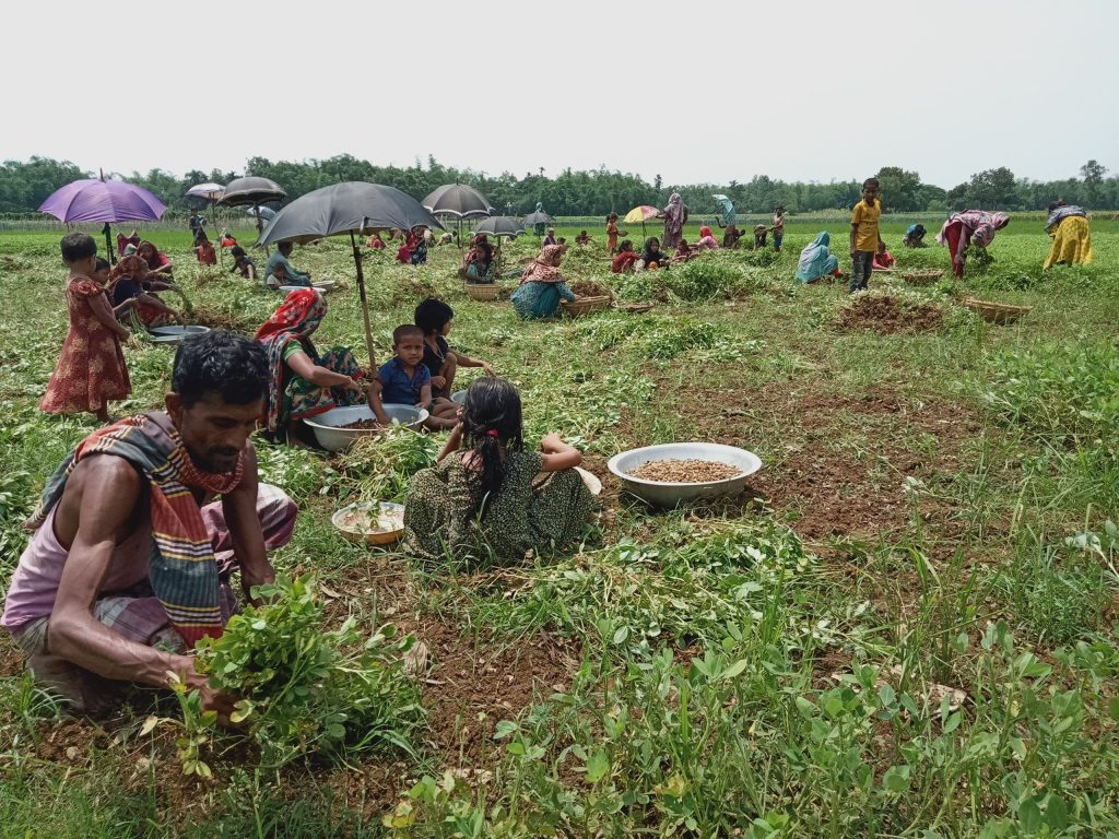 তাহিরপুরে বাদামের বাম্পার ফলন