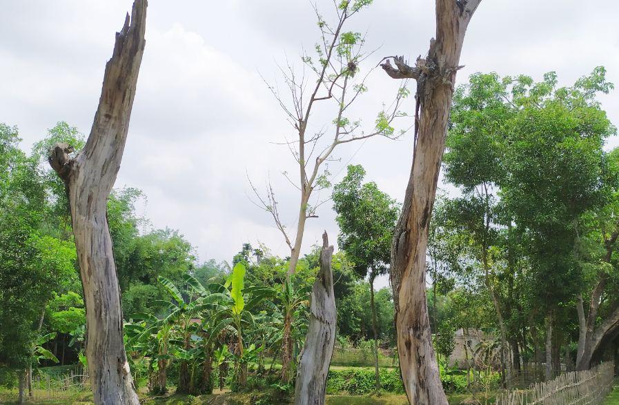 কমলগঞ্জে বন বিভাগের গাফিলতির কারনে প্রায় ১৬ লক্ষ টাকা মূল্যের গাছ বিনষ্ট